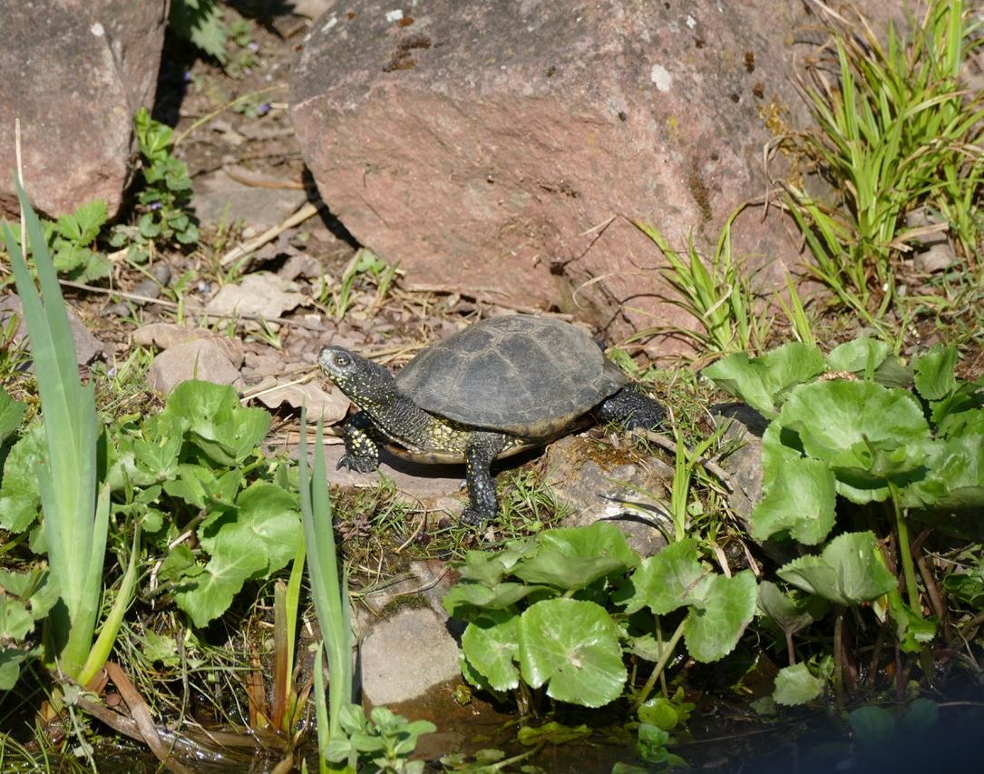 Sumfpfschildkröte1