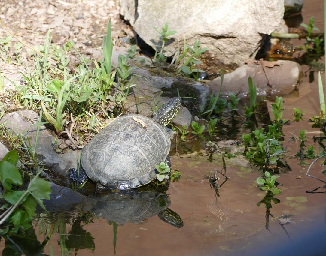 Sumfpfschildkröte2