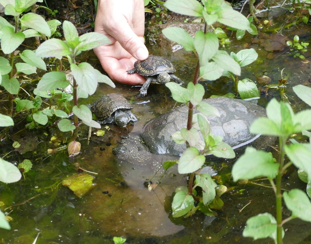 Sumfpfschildkröte4