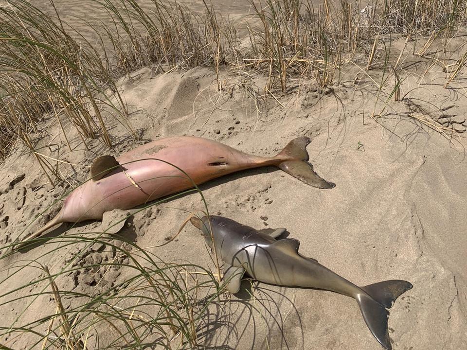 Schutz des La Plata Delphins
